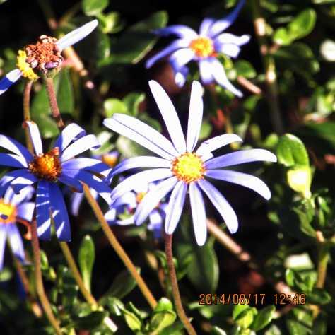fleurbleue